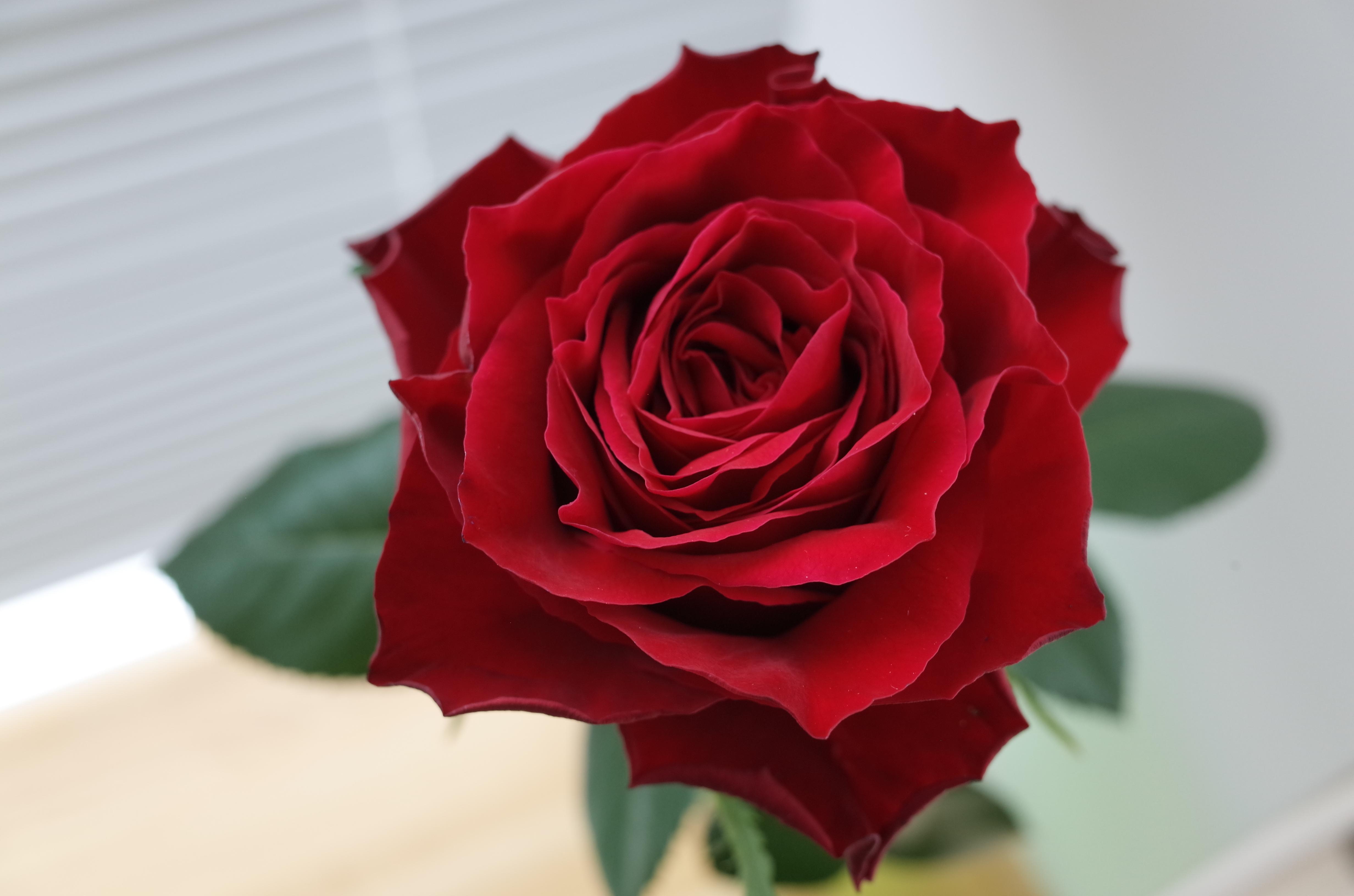 赤いバラの花言葉そのままに「AM...